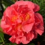 Camellia japonica 'Margaret Short'