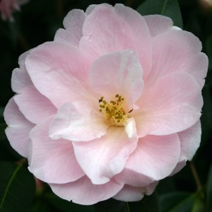 Camellia x williamsii 'Margaret Waterhouse'