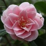 Camellia japonica 'Marguerite Tourje'