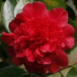 Camellia japonica 'Mariana'