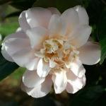 Camellia japonica 'Marjorie Magnificent'