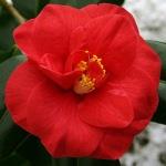 Camellia japonica 'Mars'