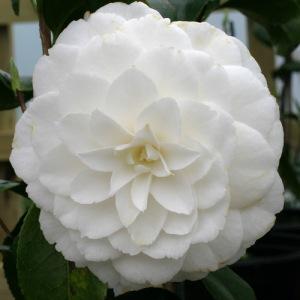 Camellia japonica 'Mary Alice Cox'