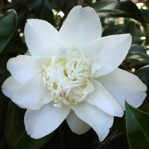 Camellia japonica 'Mary Costa'