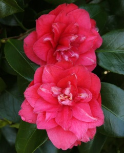 Camellia japonica 'Mary Margaret'