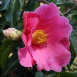 Camellia reticulata 'Mary Williams'
