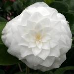 Camellia japonica 'Mathotiana Alba'