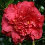 Camellia japonica 'Mathotiana Supreme'