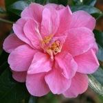 Camellia 'Maud Messel'