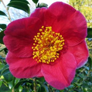 Camellia japonica 'Merry Christmas'