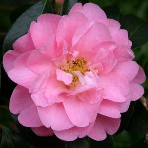 Camellia x williamsii 'Mildred Veitch'