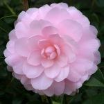 Camellia x williamsii 'Mimosa Jury'