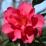 Camellia x williamsii 'Mirage'