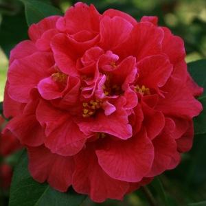 Camellia reticulata 'Miss Tulare'