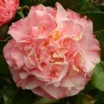 Camellia x williamsii 'Mona Jury'