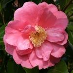 'Camellia japonica 'Monte Carlo'