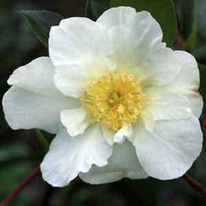 Camellia japonica 'Moonlight'