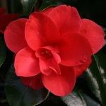 Camellia japonica 'Moshio'