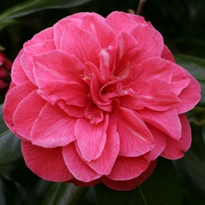 Camellia japonica 'Mrs Ann Marie Hovey'