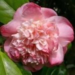 Camellia japonica 'Mrs Lyman Clarke'