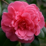 Camellia 'Mrs Springs Variety'