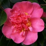Camellia japonica 'Mrs Swan'