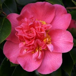 Camellia japonica 'Mrs Swan'