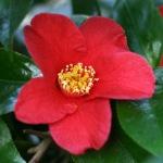 Camellia 'Mrs T. Brockhouse'