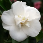 Camellia japonica 'Mrs William Thompson'