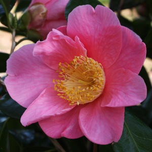 Camellia x williamsii 'New Venture'