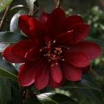 Camellia 'Night Rider'