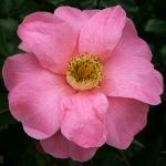 Camellia 'Nijinski'