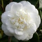 Camellia japonica 'Nobilissima'