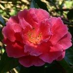 Camellia reticulata 'Noble Pearl'
