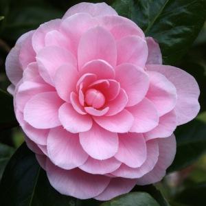 Camellia japonica 'Nuccio's Cameo'