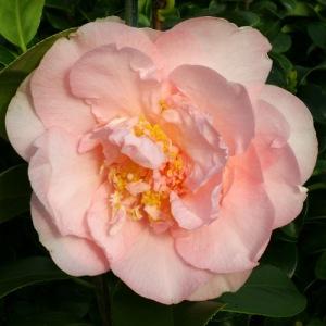 Camellia japonica 'Nuccio's Pink-Lace'