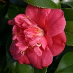 Camellia japonica 'Odoratissima'