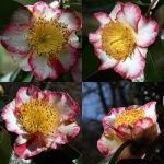 Camellia japonica 'Ôkan' (Higo)