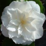 Camellia japonica 'Paolina Maggi'