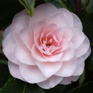 Camellia hybrid 'Paper Dolls'