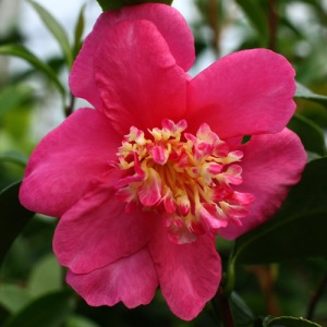 Camellia sasanqua 'Paradise Glow'