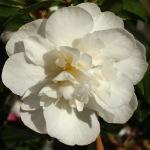 Camellia sasanqua 'Paradise Helen'