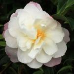 Camellia sasanqua 'Paradise Pearl'