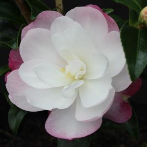 Camellia sasanqua 'Paradise Sayaka'