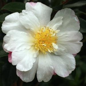 Camellia sasanqua 'Paradise Venessa'
