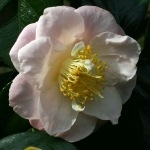 Camellia japonica 'Patricia Ann'