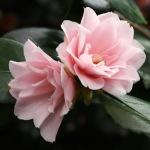 Camellia japonica 'Peach Blossom'