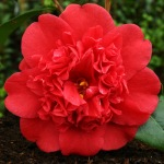 Camellia japonica 'Pensacola Red'