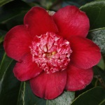 Camellia hybrid 'Peter Betteley'