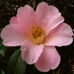Camellia x williamsii 'Philippa Forward'